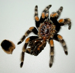 molt from mexican red knee tarantula
